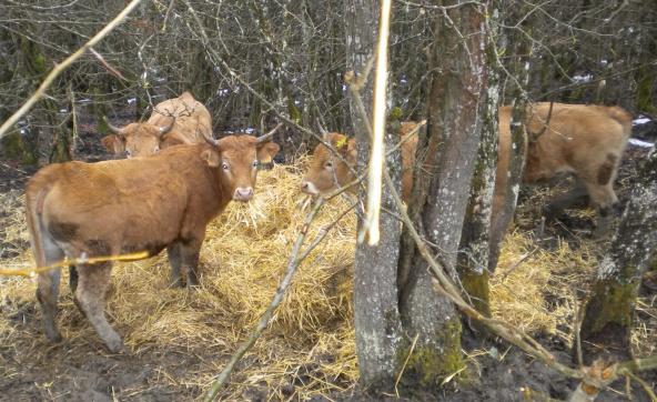 vacas en Puerto Vitoria